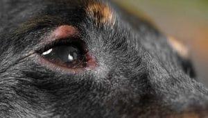 כלבים אם אלרגיות בעיניים ובעיות בעור