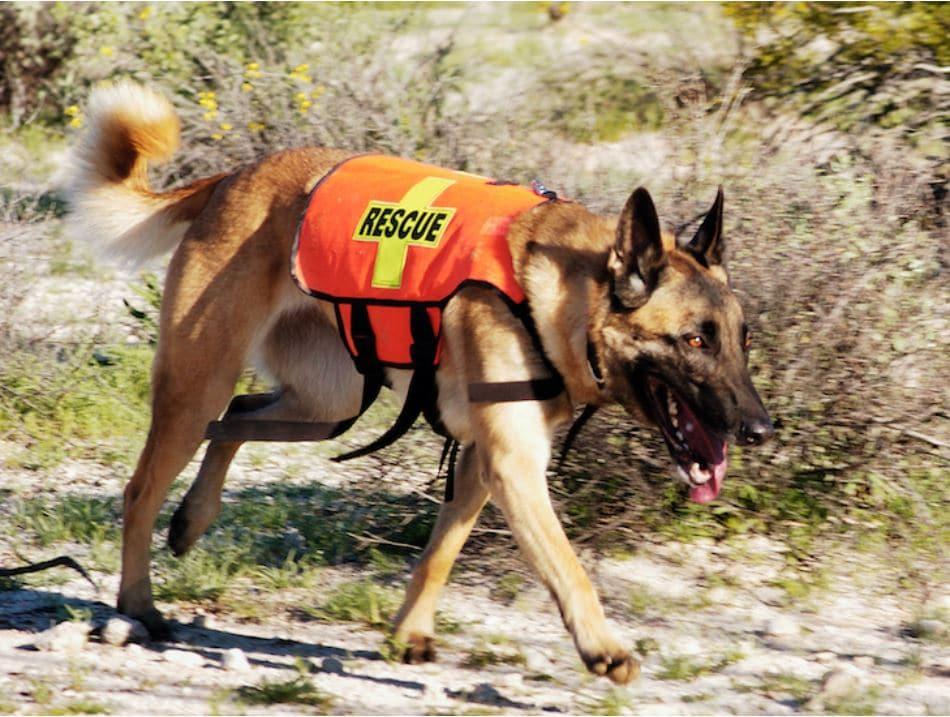 אילוף כלבי הצלה