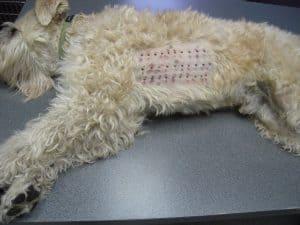 כלב שלא יטפל באלרגיות שלו ייצטרך ניתוח